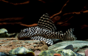 (Hypancistrus sp. L-066)Тигровый королевский