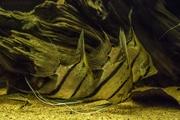 Скалярия Альтум( Pterophyllum Scalare Rio Nanay)