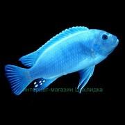 Псевдотрфеус ( голубой.  )