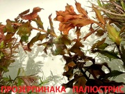 Прозерпинака палюстрис и др. растения. НАБОРЫ растений для запуска акв