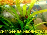 Гигрофила иволистная  растения ---- НАБОРЫ растений для запуска-------