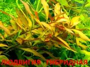 Людвигия гибридная - НАБОРЫ растений для запуска акваса----