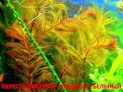 Перестолистник красный и  растения ----  НАБОРЫ растений для запуска---