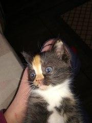 Срочно ищет руки или передержку маленький котёнок-девочка! У себя оста